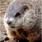 Oklahoma Wildlife Control Tulsa Garden Burrow Digger Rodent Marmot Ground Squirrel Whistle Pig Land Beaver