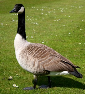 Oklahoma residential Canada goose geese control remediation remedy removal remove