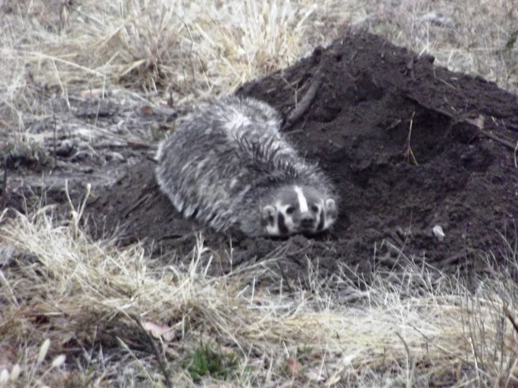 Oklahoma Wildlife Control Trap Trapper Trapping Remove Removal North American Badger